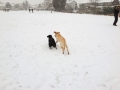 IYellow Lab Daphne playing with her friend Molly