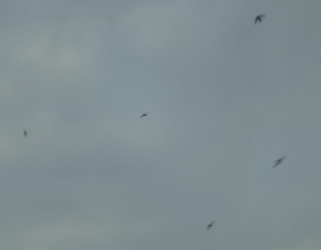 one clear and 5 fuzzy swift silhouettes