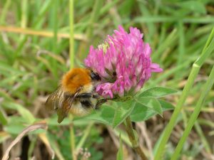 little ginger brown bumble bee