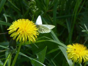 little white butterfly on a yellow dandelion